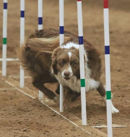 Tulsa Dog Training Club Agility Trials