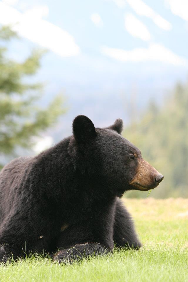 Revelstoke Bear Aware AGM @ Machperson Room, Revelstoke Community Centre