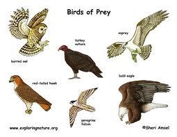 Birds Of Prey Presentation